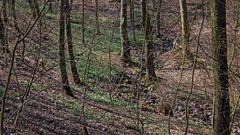 """Ein kleiner """"größerer Ausschnitt"""" des Biotops mit den Märzenbechern..."""