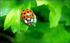 Ein kleiner Harlekin - Glückskäfer...