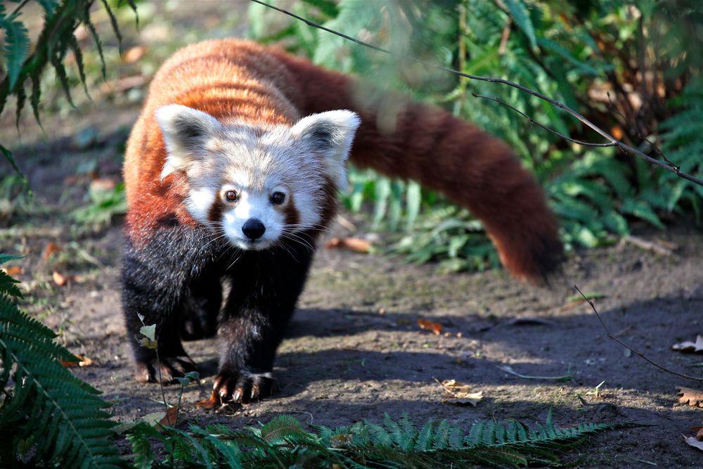 ein kleiner panda im leipziger zoo foto bild tiere zoo wildpark falknerei. Black Bedroom Furniture Sets. Home Design Ideas