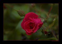 ein kleiner Rosengruß...