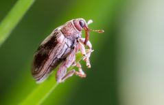 Ein kleiner Rüsselkäfer