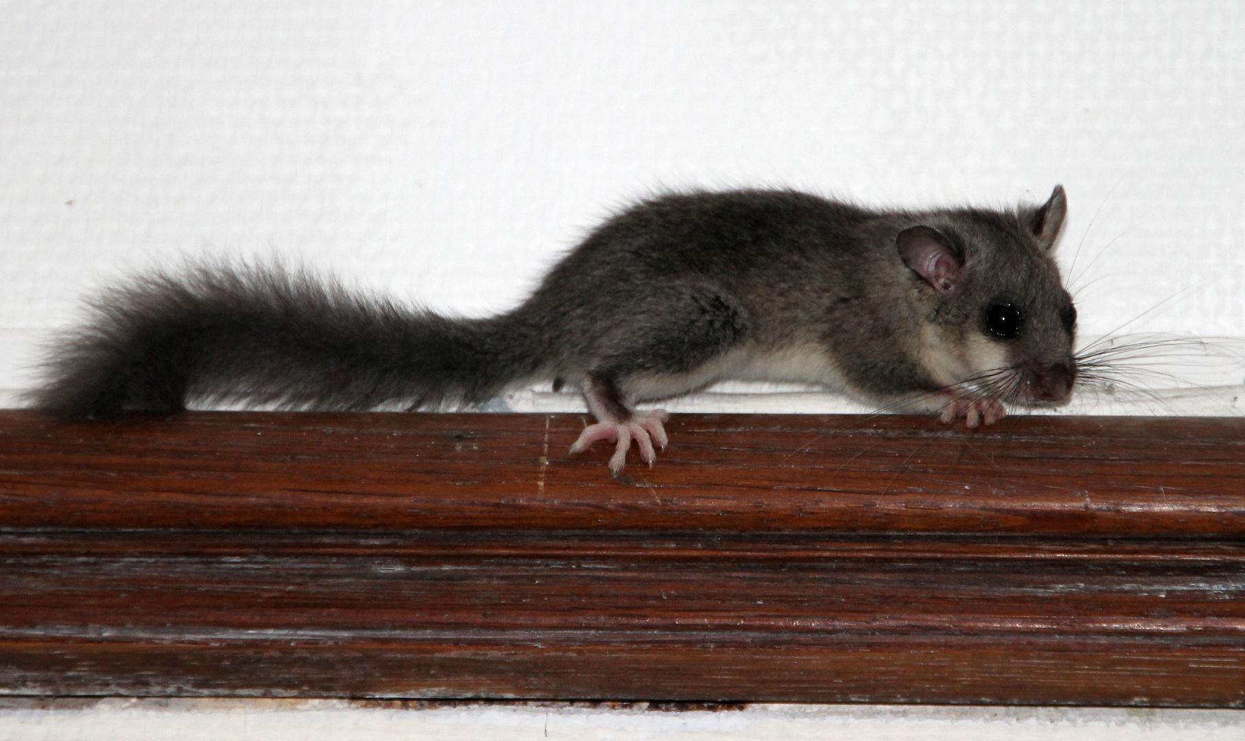 Ein kleiner Siebenschläfer (un petit loir)