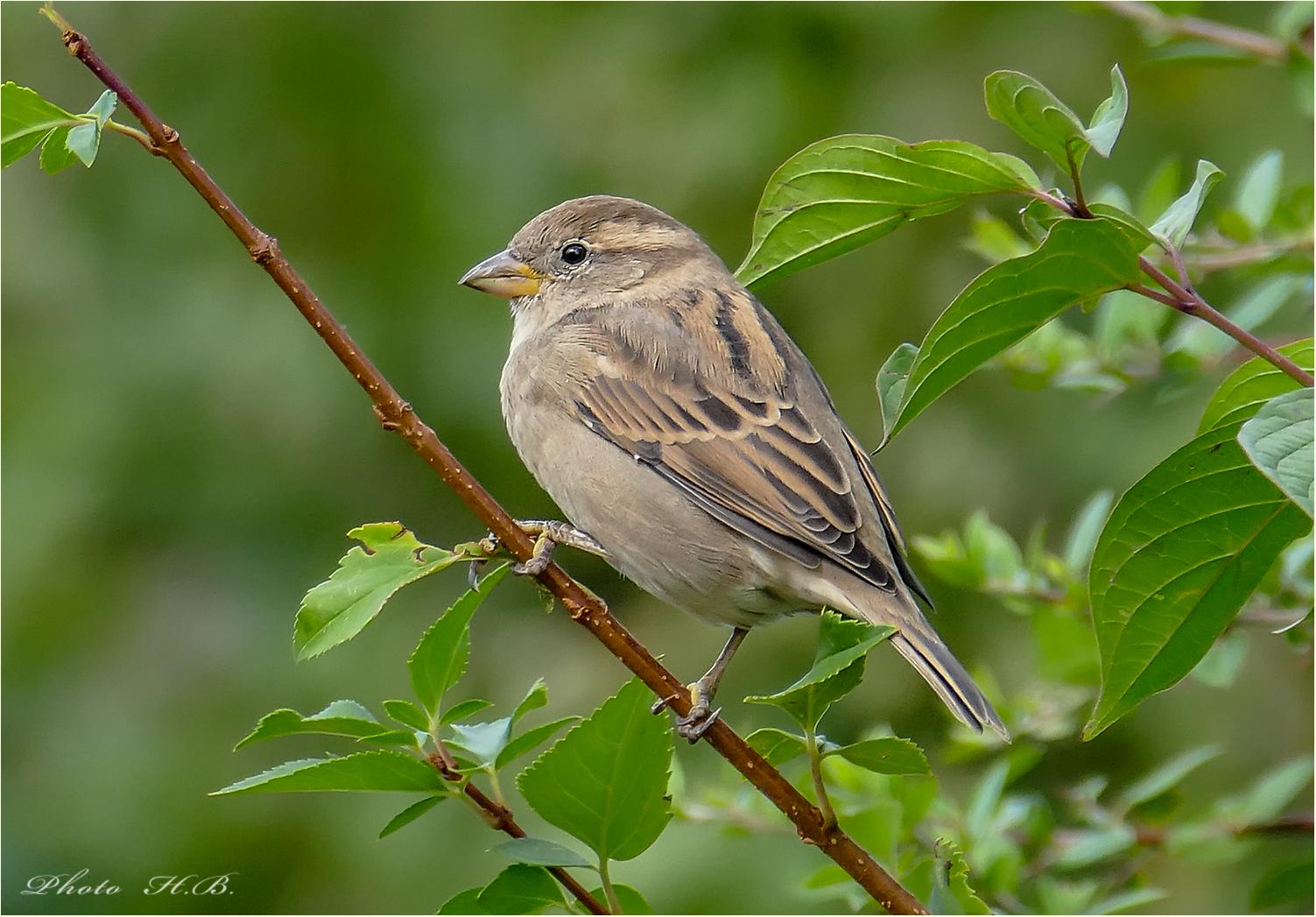 Ein kleiner Sperling