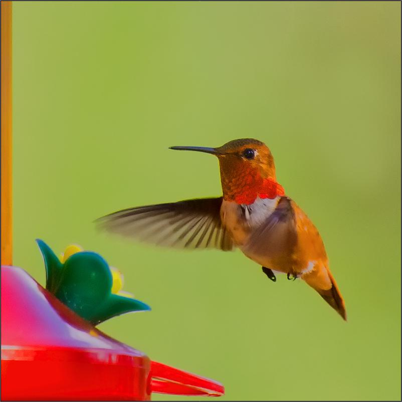 ein kolibri in Kanada