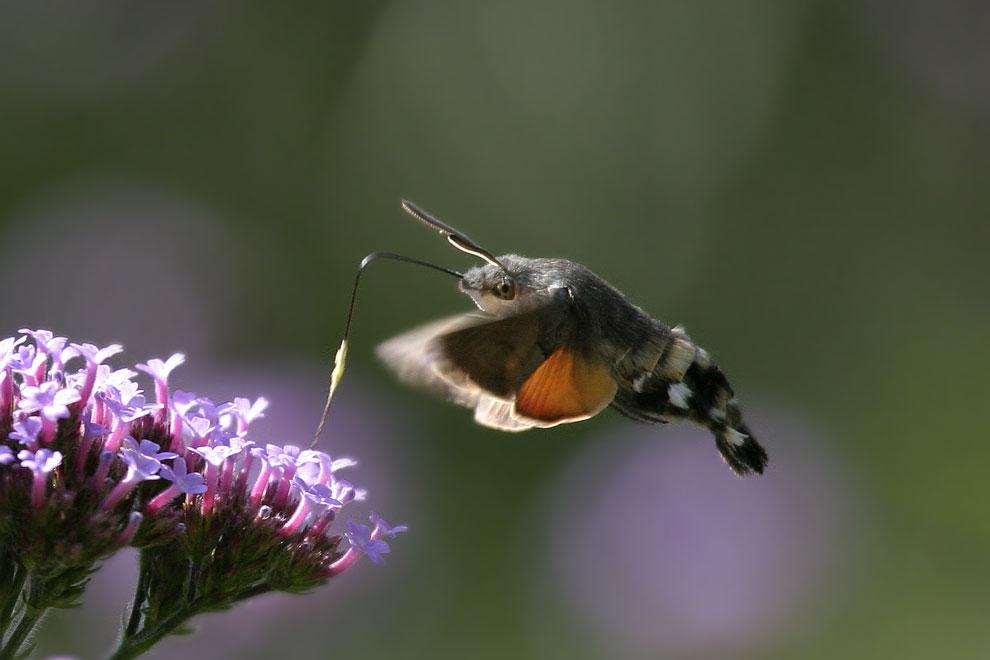 Ein Kolibri...(2)