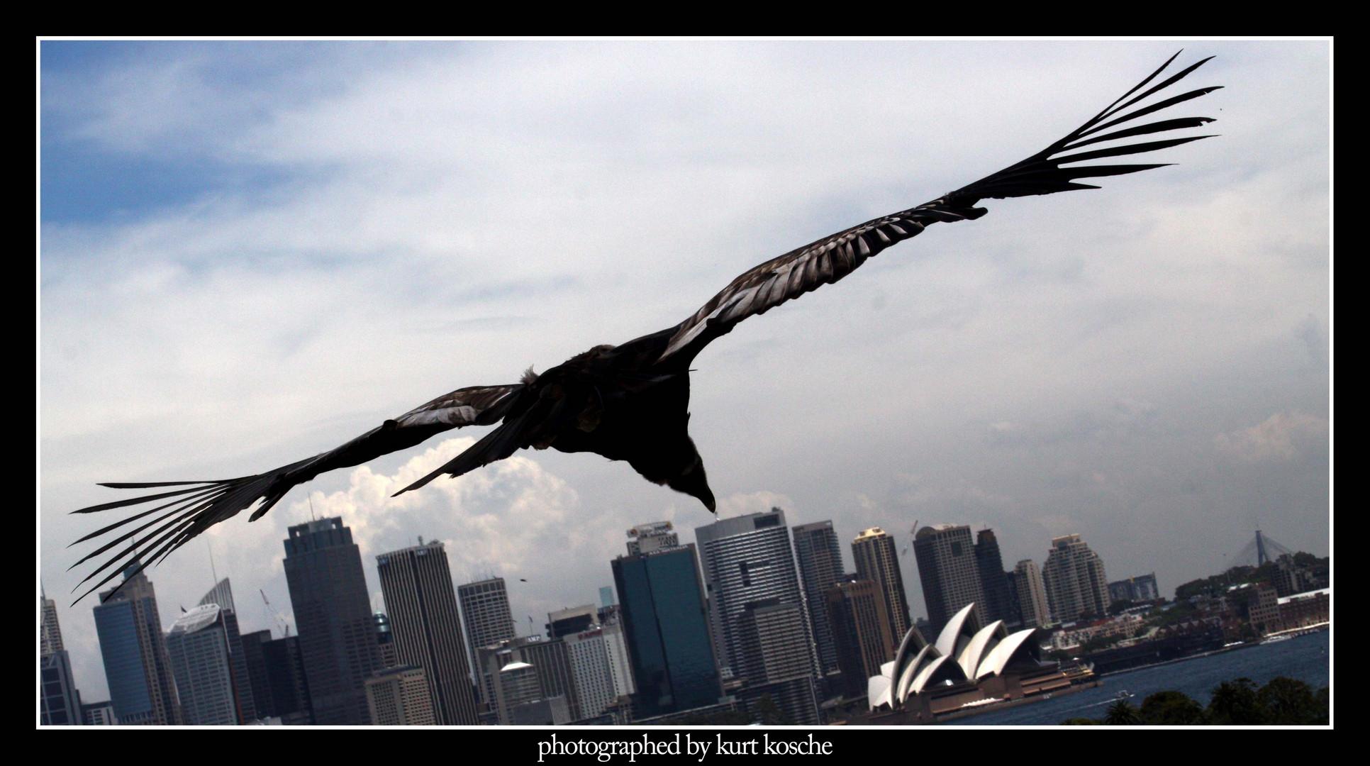 ein kondor über sydney