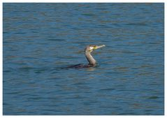 Ein Kormoran auf Fischfang