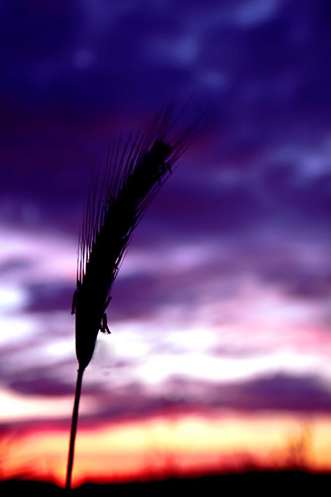 Ein Korn im Abendrot
