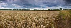 Ein Kornfeld