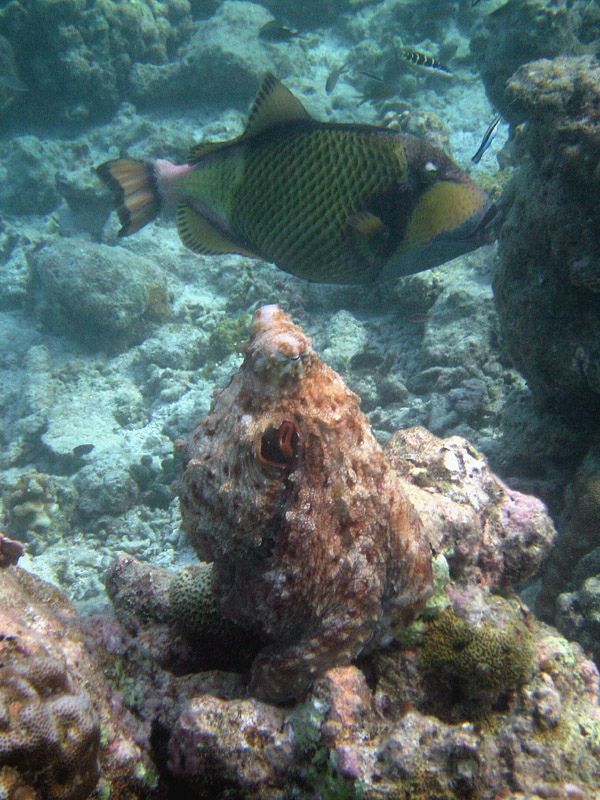 Ein Krake spielt Koralle