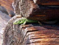 """... ein """"Krokodil"""" auf der Almhütte ..."""