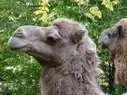 Ein lachendes Kamel