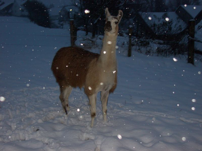 Ein Lama im Schnee