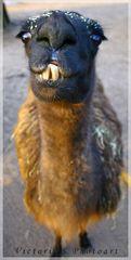 Ein Lama muss zum Zahnarzt