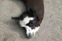 Ein Lama ruht sich aus...