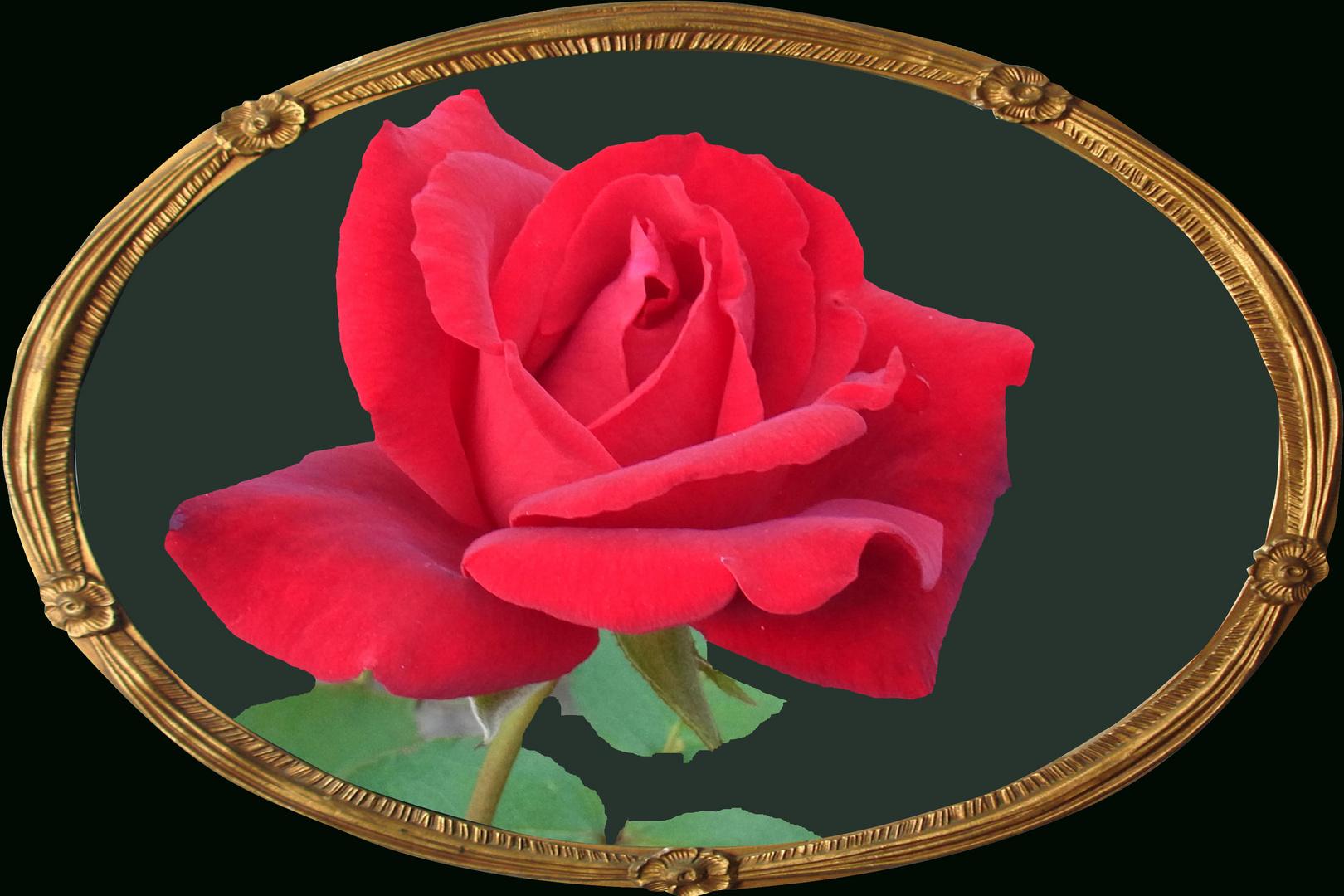 Ein lieber Rosengruß