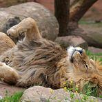 Ein Löwe in Bewegung