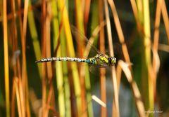 Ein Männchen der Blaugrünen Mosaikjungfer im Flug