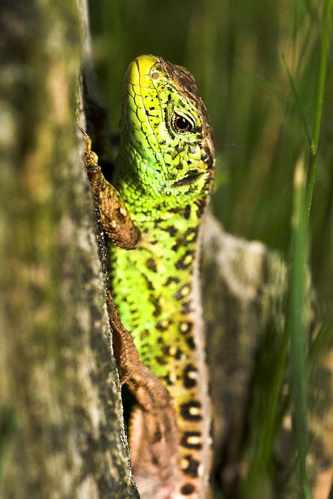Ein Männchen der Zauneidechse