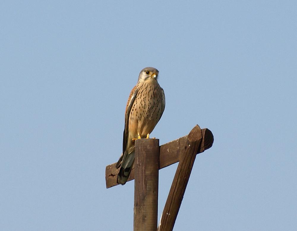Ein männlicher Falke