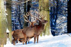 Ein majestätischer Anblick - Hirsche in Neuschnee