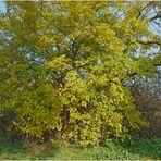 Ein Maulbeerbaum