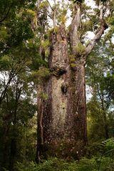 Ein Methusalem unter den Bäumen