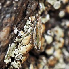 Ein Mini-Zwerg: Die Gemeine Zwenkenzirpe, Imago (Adarrus multinotatus)!