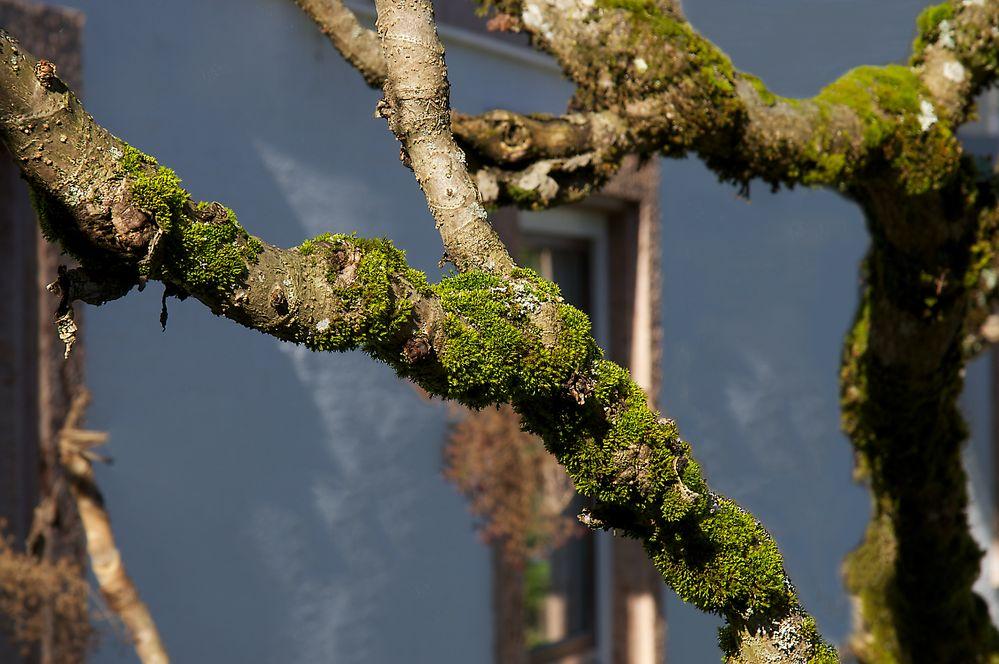 Ein Moosbaum