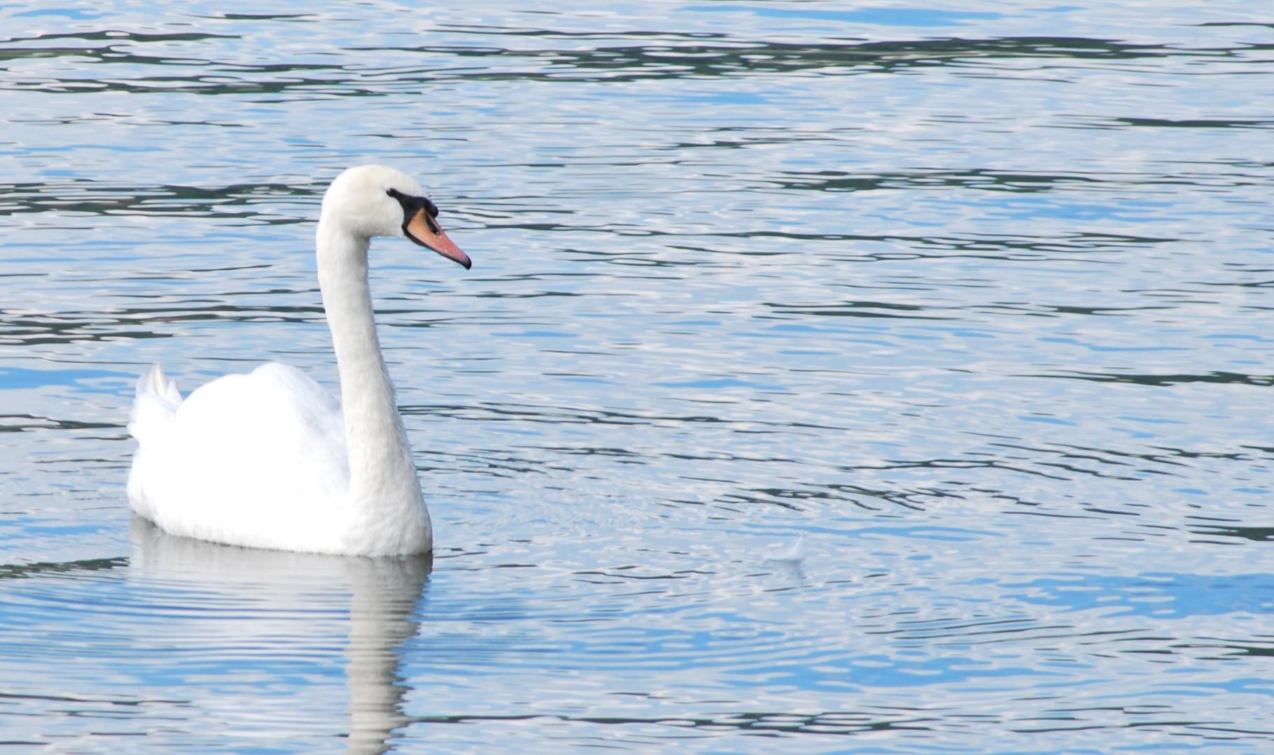 Ein Moselschwan