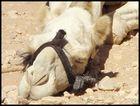Ein müdes Kamel