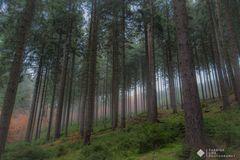 ein Nebelmorgen im niedereinsiedler Wald(Sachsen)