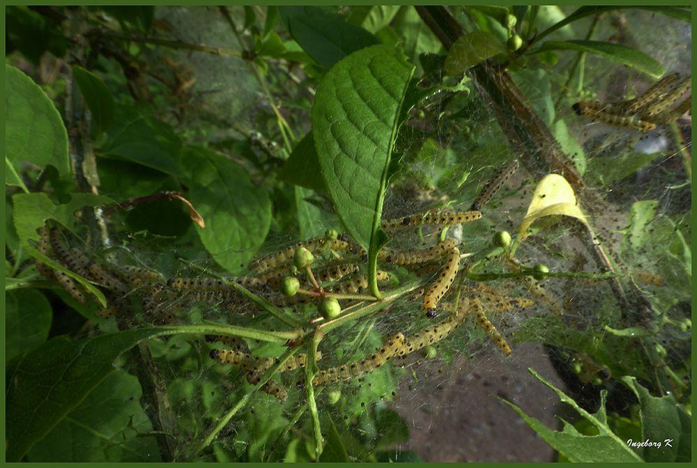 Ein Netz mit Raupen im Strauch