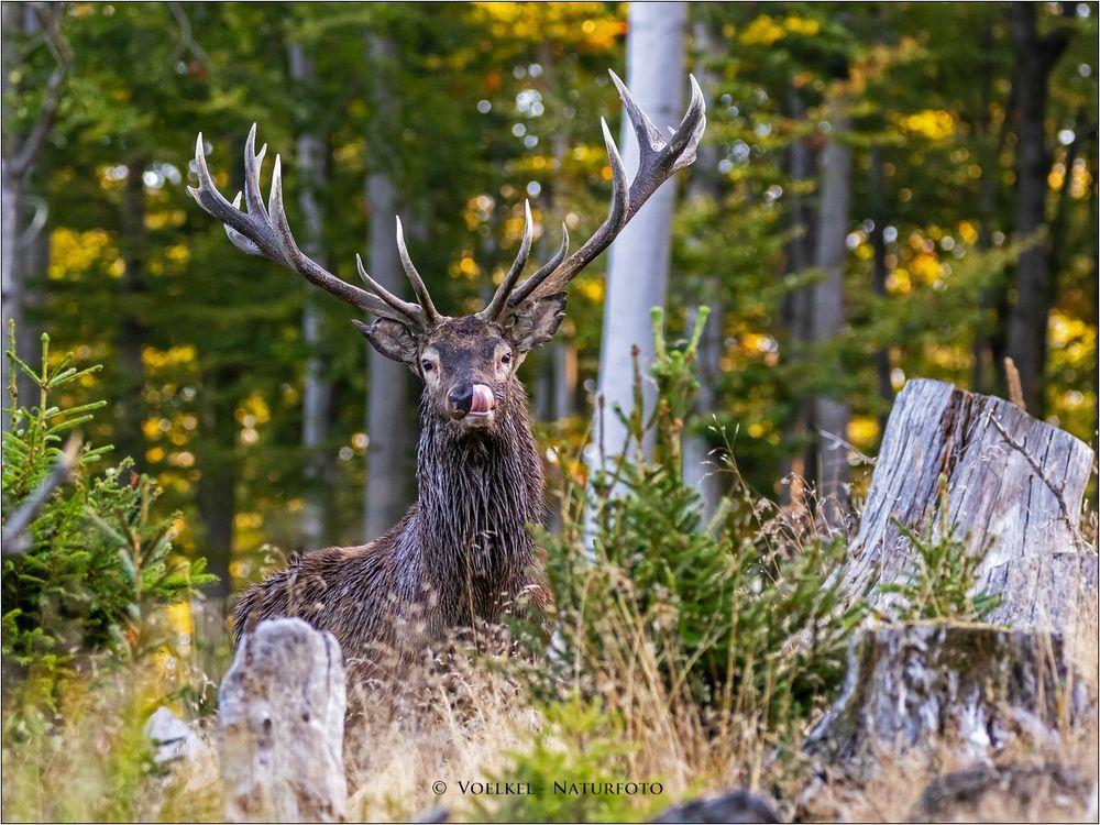 Ein neugieriger Hirsch