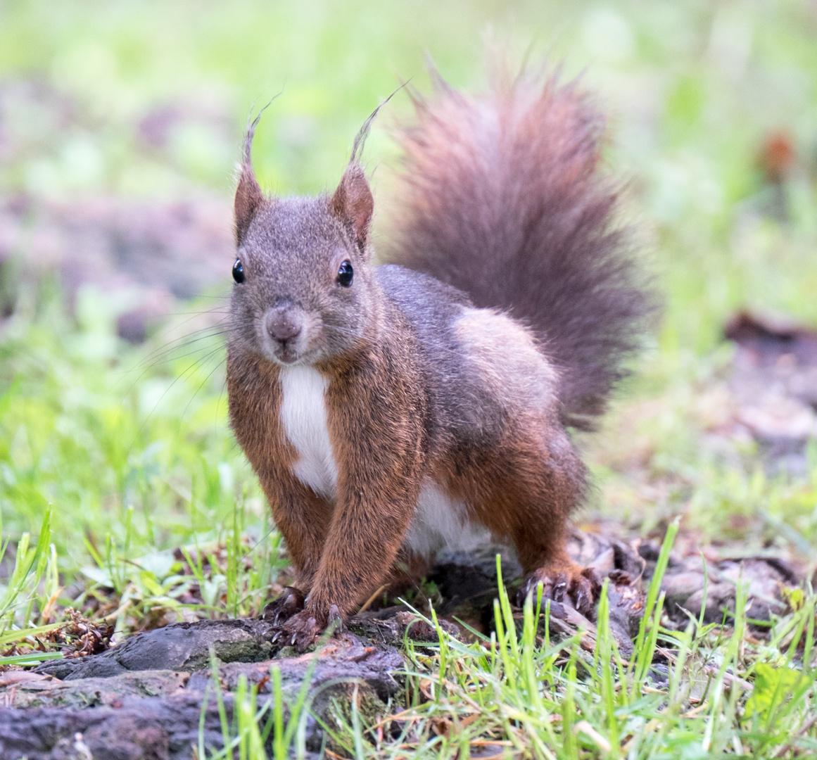 Ein neugieriges Eichhörnchen