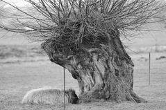 Ein Nickerchen unter einer Kopfweide