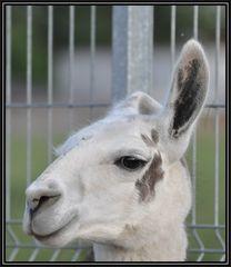 ein-Ohr-Lama