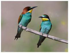 """"""" EIN PAAR """" ---- Bienenfresser ----- ( Merops apiaster )"""