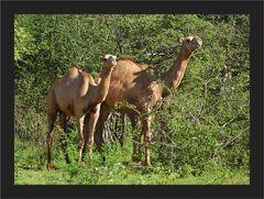 Ein paar Kamele