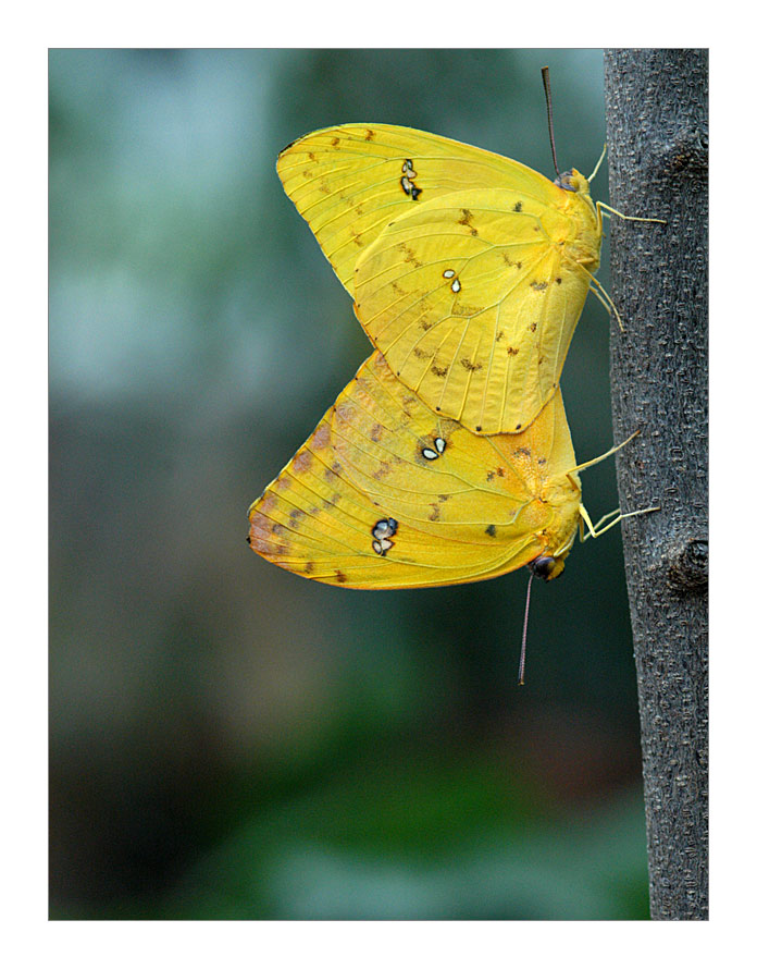 Ein Paar Schmetterlinge