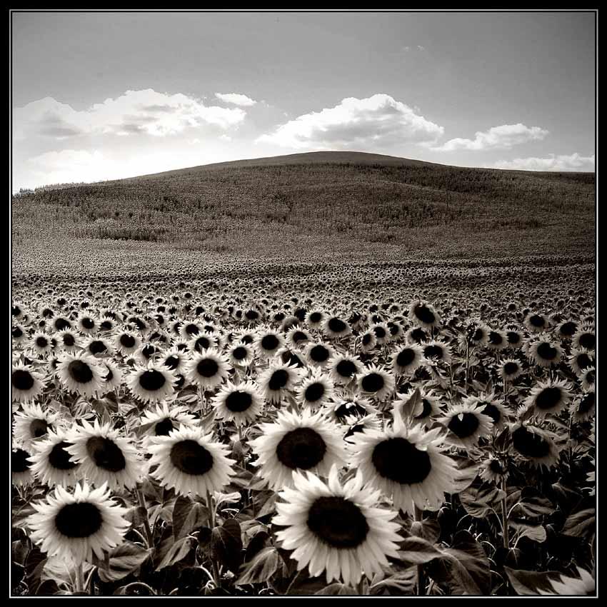 ein paar Sonnenblumen