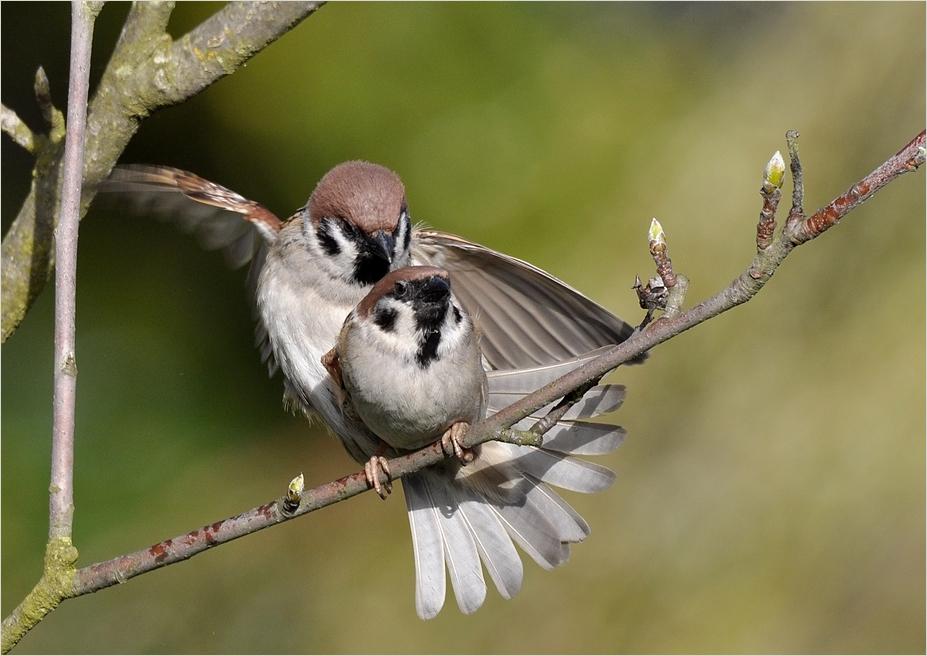 Ein Paar Sperlinge