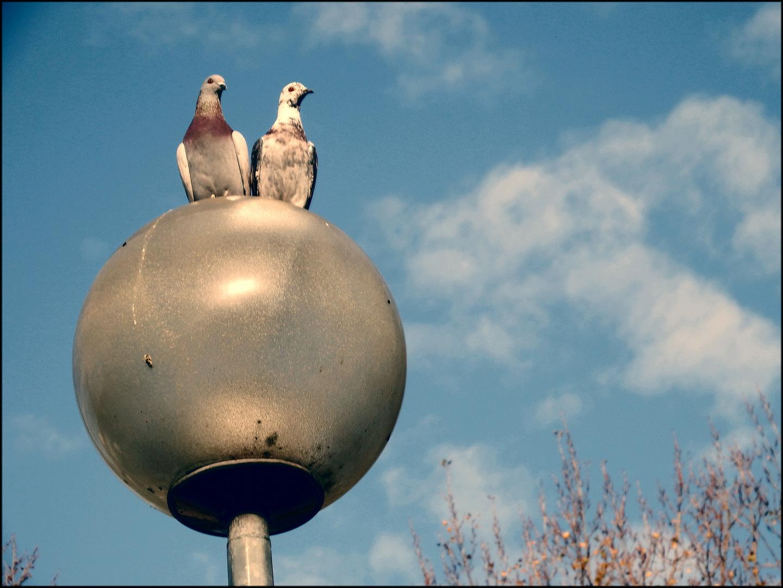 Ein Paar Tauben