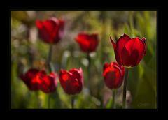 ... ein paar Tulpen...