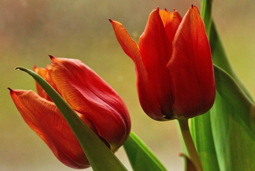 Ein paar Tulpen