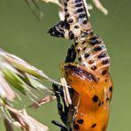 Ein Pappelblattkäfer schlüpft ins neue Leben!
