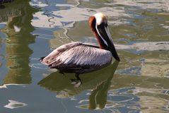 Ein Pelican am Fort Lauderdale Hafen