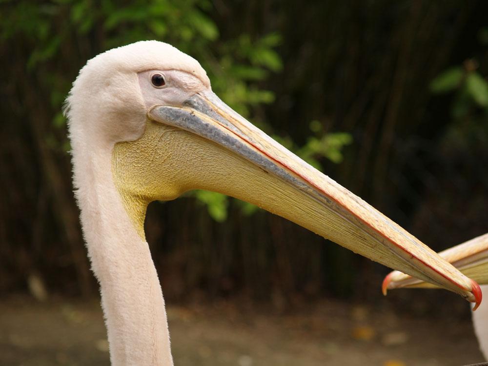 Ein Pelikan in Nahaufnahme