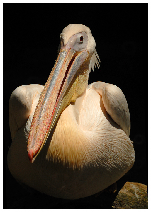 Ein Pelikan, sonst nichts