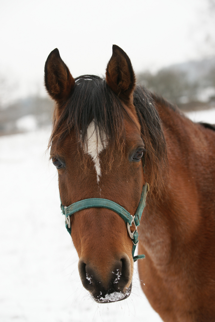 Ein Pferd aus Gechingen